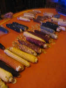 A variety of maize landraces brought by Dr. Karen Adams
